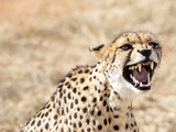 Snarling Cheetah (Acynonix Jubatus) Showing Teeth, Kalahari Plains, Namibia, Africa Photographie par Kim Walker