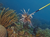 Spearfishing Lionfish (Pterois Volitans), Roatan, Bay Islands, Honduras, Caribbean, Central America Photographic Print by Antonio Busiello