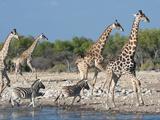 Giraffe (Giraffa Camelopardis) and Zebras (Equus Burchelli), Etosha Nat'l Park, Namibia Fotografie-Druck von Kim Walker