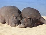 Hippopotamus (Hippopotamus Amphibius) Sleeping, Kruger National Park, Mpumalanga, South Africa Photographic Print by Ann & Steve Toon