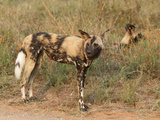 African Wild Dogs (Lycaon Pictus), Kruger National Park, South Africa, Africa Photographic Print by Ann & Steve Toon