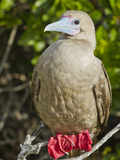 Red-Footed Booby (Sula Sula), Galapagos Islands, UNESCO World Heritage Site, Ecuador Photographic Print by Michael Nolan