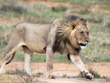 Lion (Panthera Leo), Kgalagadi Transfrontier Park, Northern Cape, South Africa, Africa Photographic Print by Ann & Steve Toon