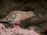 Galapagos Dove (Zenaida Galapagoensis), Galapagos Islands, UNESCO World Heritage Site, Ecuador Photographic Print by Michael Nolan