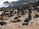 Cape Fur Seals (Arctocephalus Pusillus), Cape Cross, Skeleton Coast, Kaokoland, Namibia Photographic Print by Nico Tondini