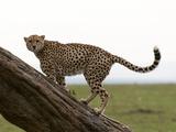 Cheetah, (Acynonix Jubatus), Masai Mara, Kenya, East Africa, Africa Photographic Print by Sergio Pitamitz