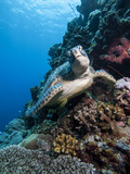 Green Turtle (Chelonia Mydas), Sulawesi, Indonesia, Southeast Asia, Asia Photographic Print by Lisa Collins