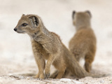 Yellow Mongoose (Cynictis Penicillata) Subadults at Den, Kgalagadi Transfrontier Park, South Africa Photographic Print by Ann & Steve Toon