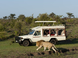 Lion (Panthera Leo) and Safari Vehicle, Masai Mara, Kenya, East Africa, Africa Photographic Print by Sergio Pitamitz