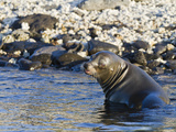 Galapagos Sea Lion (Zalophus Wollebaeki), Galapagos Islands, UNESCO World Heritage Site, Ecuador Photographic Print by Michael Nolan