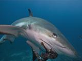 Caribbean Reef Shark (Carcharhinus Perezii) Eating Lionfish (Pterois Volitans), Roatan, Honduras Photographic Print by Antonio Busiello