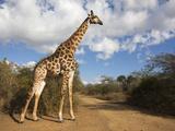 Giraffe (Giraffa Camelopardalis), Imfolozi Reserve, Kwazulu-Natal, South Africa, Africa Photographic Print by Ann & Steve Toon