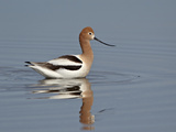 American Avocet (Recurvirostra Americana), Yellowstone National Park, Wyoming, USA, North America Reproduction photographique par James Hager