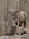 Two Bighorn Sheep (Ovis Canadensis) Rams During the Rut, Clear Creek County, Colorado, USA Photographic Print by James Hager
