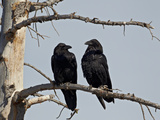 Common Raven (Corvus Corax) Pair, Yellowstone National Park, Wyoming, USA, North America Photographic Print by James Hager