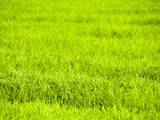 Rice Paddy Fields Near Chiang Rai, Thailand, Southeast Asia, Asia Photographic Print by Matthew Williams-Ellis