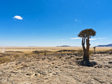 The Quivertree (Kokerboom Tree) (Aloe Dichotoma), Namib Desert, Namibia, Africa Photographic Print by Nico Tondini