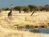 Giraffe (Giraffa Camelopardis) at Water Hole, World's Tallest Animal, Etosha National Park, Namibia Photographic Print by Kim Walker