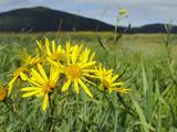 Fen Ragwort (Senecio Paludosus) in Marshland of Lake Cerknica in Summer, Slovenia Photographic Print by Nick Upton
