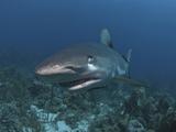 Caribbean Reef Shark (Carcharhinus Perezii) Showing Nictitating Membrane, Roatan, Honduras Photographic Print by Antonio Busiello