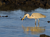 Great Blue Heron (Ardea Herodias), Cerro Dragon, Galapagos Isl, UNESCO World Heritge Site, Ecuador Photographic Print by Michael Nolan