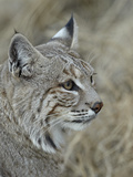 Bobcat (Lynx Rufus), Living Desert Zoo and Gardens State Park, New Mexico, USA, North America Photographic Print by James Hager