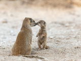 Yellow Mongoose (Cynictis Penicillata) with Young, Kgalagadi Transfrontier Park, South Africa Photographic Print by Ann & Steve Toon