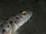 Spotted Shrimp Goby (Amblyeleotris Guttata), Sulawesi, Indonesia, Southeast Asia, Asia Photographic Print by Lisa Collins