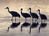 Line of Sandhill Crane (Grus Canadensis), Bosque del Apache Nat'l Wildlife Refuge, New Mexico, USA Photographic Print by James Hager