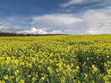 A Beautiful Spring View Showing a Rape Field Near Morston, Norfolk, England Lámina fotográfica por Jon Gibbs