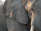Close Up of Partial Face, African Elephant (Loxodonta Africana), Etosha National Park, Namibia Photographic Print by Kim Walker