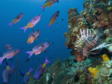 Creole Wrasse (Clepticus Parrae) and Lionfish (Pterois Volitans), Roatan, Bay Islands, Honduras Photographic Print by Antonio Busiello
