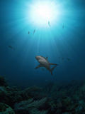 Caribbean Reef Shark (Carcharhinus Perezii) with Sun Seen from Below, Roatan, Bay Islands, Honduras Photographic Print by Antonio Busiello