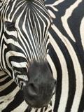 Burchell's (Plains) Zebra (Equus Burchelli), Mhkuze Game Reserve, Kwazulu Natal, South Africa Fotoprint van Ann & Steve Toon