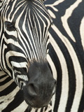 Burchell&#39;s (Plains) Zebra (Equus Burchelli), Mhkuze Game Reserve, Kwazulu Natal, South Africa Photographic Print by Ann &amp; Steve Toon