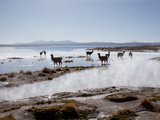 Llamas Standing in a Steaming Hot Lagoon at Dawn, Eduardo Avaroa National Park Photographic Print by Phil Clarke-Hill