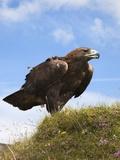 Golden Eagle (Aquila Chrysaetos), Captive, United Kingdom, Europe Photographic Print by Ann & Steve Toon