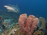 Caribbean Reef Shark (Carcharhinus Perezii) and Giant Barrel Sponge (Xestospongia Muta), Honduras Fotoprint van Antonio Busiello