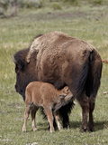 Bison (Bison Bison) Cow Nursing Her Calf, Yellowstone National Park, Wyoming, USA, North America Photographic Print by James Hager