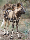 African Wild Dog (Lycaon Pictus), Kruger National Park, South Africa, Africa Photographic Print by Ann & Steve Toon