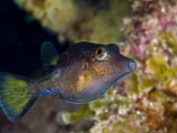 Sharpnose Puffer (Canthigaster Rostrata), St. Lucia, West Indies, Caribbean, Central America Photographic Print by Lisa Collins