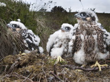 Peregrine Chicks (Falco Peregrinus), after Being Ringed, Northumberland National Park, England, UK Photographic Print by Ann & Steve Toon