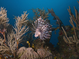 Lionfish (Pterois Volitans), Roatan, Bay Islands, Honduras, Caribbean, Central America Photographic Print by Antonio Busiello