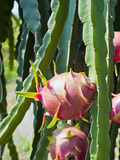Dragon Fruit at a Fruit Farm, Mekong Delta, Vietnam, Indochina, Southeast Asia, Asia Lámina fotográfica por Matthew Williams-Ellis