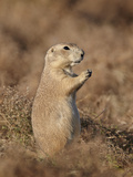Blacktail Prairie Dog (Cynomys Ludovicianus), Theodore Roosevelt National Park, North Dakota, USA Photographic Print by James Hager