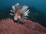 Lionfish (Pterois Volitans) and Giant Barrel Sponge (Xestospongia Muta), Roatan, Honduras Photographic Print by Antonio Busiello