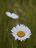 Oxeye Daisy (Ox-Eye Daisy) (Leucanthemum Vulgare), Waterton Lakes National Park, Alberta, Canada Photographic Print by James Hager