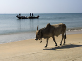 Cattle and Fishing Boat, Benaulim, Goa, India, Asia Stampa fotografica di Stuart Black