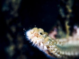 Beared Fireworm (Hermodice Carunculata), St. Lucia, West Indies, Caribbean, Central America Photographic Print by Lisa Collins