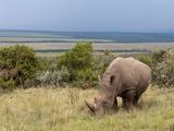 White Rhinoceros (Ceratoterium Simium), Masai Mara, Kenya, East Africa, Africa Photographic Print by Sergio Pitamitz